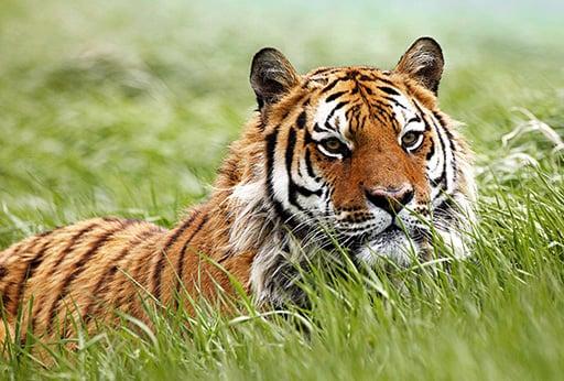 Realm of Amur Tiger